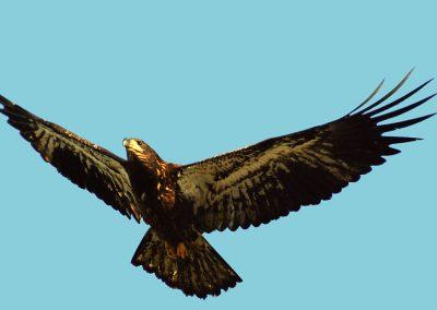 1024px-Fledging_Bald_Eagle