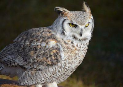 snow-owl